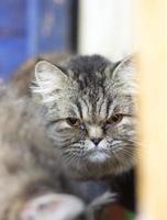 Grey cat with orange eyes close up photo