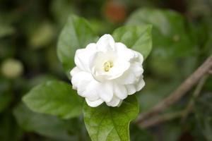 Close up jasmine flower in a garden.beautiful jasmine white flowers photo