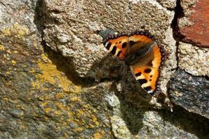 La pequeña concha es una colorida mariposa euroasiática de la familia Nymphalidae. foto