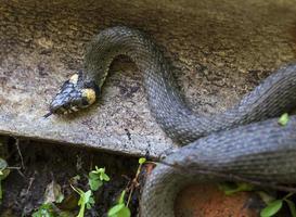 Collared snake, Grass snake in the Nature ,Natrix natrix photo