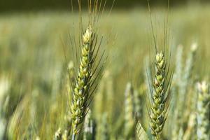 Detalle de espigas de maíz foto