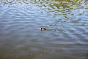 pato o pato real en el lago foto