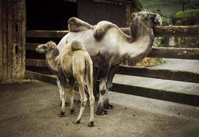 camello del desierto árabe foto