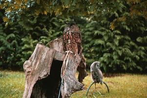 Royal Owl bird photo