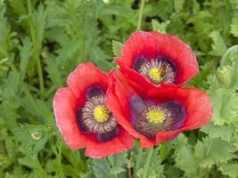 Three red poppy flowers seen from above photo