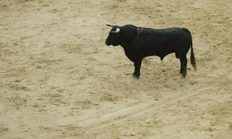 Bullfight on horseback in the bullring, La Monumental de Madrid, Spain photo