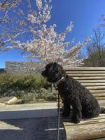 The first signs of the arrival of spring in Madrid. A dog sitting on a bench in front of a blossoming almond tree in bloom in Madrid Rio Park, Spain. photo