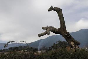 Cork oak dead in the Sierra de Gredos, province of Avila, Castilla y Leon, Spain photo