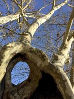 Very curious tree with hole in the trunk, in the Casa de Campo Park, Madrid, Spain photo