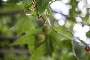 castañas verdes en un árbol foto