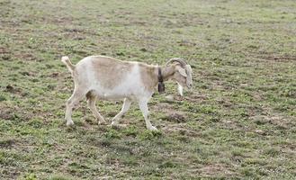 animales libres de cabras foto