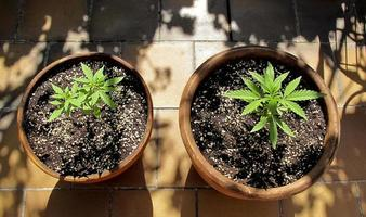 Cannabis cultivation on a terrace in Madrid photo