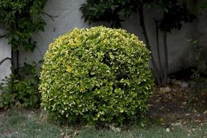 Hedge carved into a spherical shape in the province of Valladolid in Castilla y Leon, Spain photo