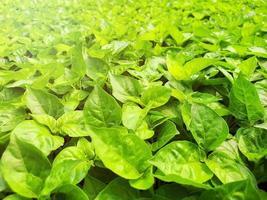 Cerca de la plantación de verduras para ensalada en una casa verde en una granja orgánica foto