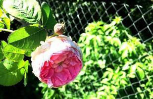 la foto colorida muestra una flor en flor rosa