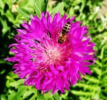 Winged bee slowly flies to the plant, collect nectar for honey on private apiary photo
