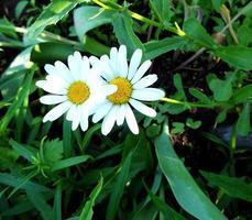 Manzanilla flor floreciente con hojas, naturaleza viva natural foto