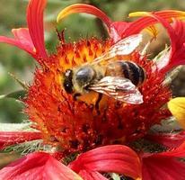 abeja alada vuela lentamente a la planta, recolecta néctar para miel en colmenar privado foto