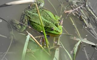 a large green frog on a grassy shore photo