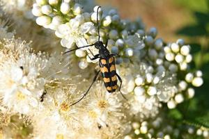 un pequeño escarabajo rayado se arrastra sobre flores blancas foto