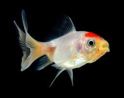 Goldfish on black background photo