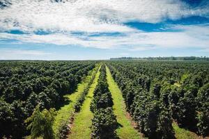 Coffee plantations Boloven.Laos photo