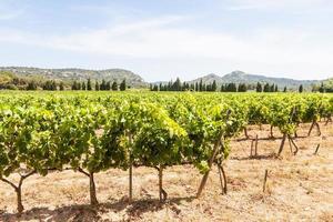 viñedo de provenza en francia foto