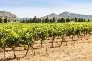 viñedo de provenza, francia foto