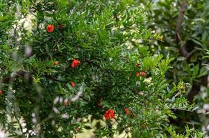 Flowering pomegranate plants photo