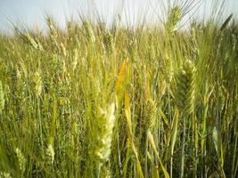Green wheat field close shot photo