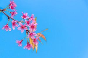 flor de cerezo silvestre del Himalaya, prunus cerasoides o flor de tigre gigante en el cielo azul. foto