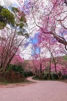 flor de cerezo silvestre del Himalaya, prunus cerasoides o flor de tigre gigante. foto