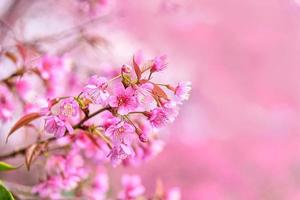 Blossom of Wild Himalayan Cherry, Prunus cerasoides or Giant tiger flower. photo