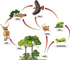 Diagram showing food web in the rainforest vector
