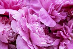 Pink peonies with drops photo