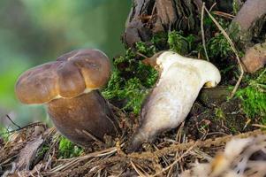 Vista detallada de un hongo comestible marrón hollín milkcap entero y reducido a la mitad foto