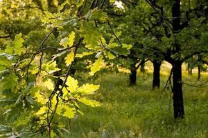 hojas de roble contra la luz, provincia de lot, francia foto