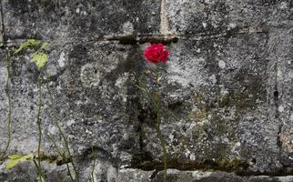 Una rosa roja delante de un muro de piedra en Francia foto