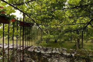 An arbor of vines, Lot province, France photo