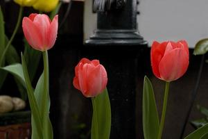 Pink tulips in the garden, Madrid Spain photo