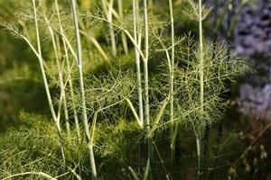 Dill an aromatic plant in the province of Lot, France photo