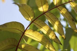 hojas de acacia en invierno, madrid, españa foto
