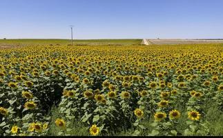 Sunflower field in Valladolid province in Castilla y Leon, Spain photo