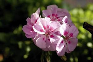 Details of geranium flowers in a garden of Madrid, Spain photo