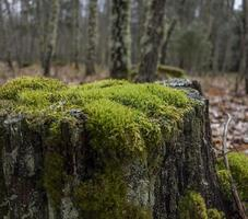 Moss, a protected species, in the Sierra de Madrid, Spain photo