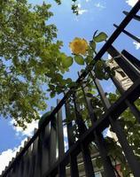 una rosa amarilla sale de la valla, madrid. España foto
