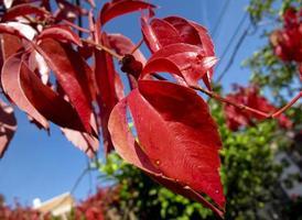 In autumn, virgin vine leaves turn red in Madrid, Spain photo