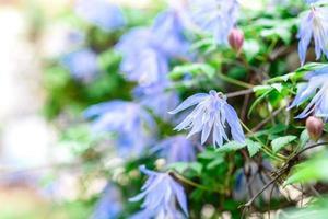 hermosas flores azules en el contexto de las plantas verdes. fondo de verano foto