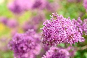 Beautiful bush of blossoming lilac in the garden. Summer background photo