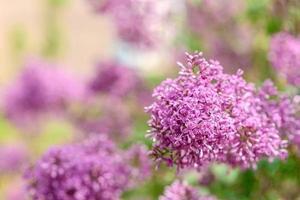 hermoso arbusto de lila en flor en el jardín. fondo de verano foto